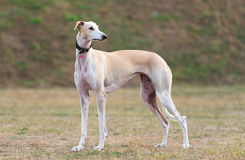 Young female galgo Espanol outdoors. Poses Royalty Free Stock Photos