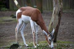 Young female gazelles eating grass in the zoo aviary. Springbok Antidorcas marsupialis Stock Photos