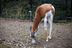 Young female gazelles eating grass in the zoo aviary. Springbok Antidorcas marsupialis Stock Images