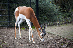 Young female gazelles eating grass in the zoo aviary. Springbok Antidorcas marsupialis royalty free stock photography