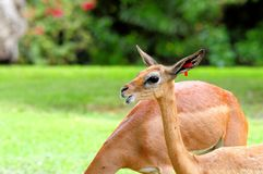 Young female gerenuk Stock Images