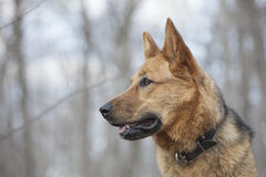Young female German Shepherd Royalty Free Stock Images