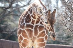 Young female giraffe 2 Stock Photography