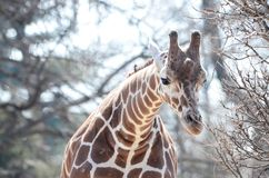 Young female giraffe Royalty Free Stock Photo
