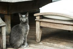 Young female gray cat royalty free stock photography