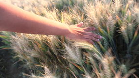Young female hand brushing across field of crops at sunset or sunrise stock footage