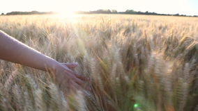 Young female hand brushing across field of crops at sunset or sunrise stock video footage