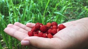 Young female hands with a handful of ripe strawberries. Healthy organic harvest in the autumn forest. stock video footage