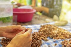 Young female hands in Hazelnuts cracking process with other people in the background royalty free stock images