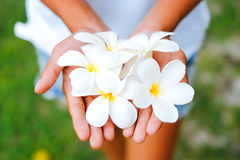 Young female hands offering frangipani, flumeria flowers.  Royalty Free Stock Photo