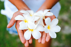 Young female hands offering frangipani, plumeria flowers.  Royalty Free Stock Image