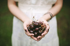 Young female holding heap of sweet cherries. Female hands holding heap of sweet cherries close-up, selective focus Stock Photos
