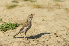Young female house Sparrow lat. Passer domesticus in search of water on a hot day Stock Image