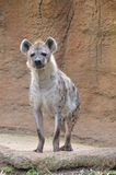 Young female hyena Royalty Free Stock Images