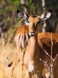 Young female impala Stock Photo