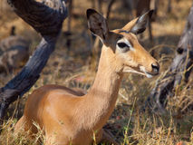 Young female impala Stock Image