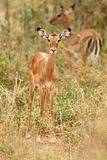 Young female impala, Aepyceros melampus. Young impala, Aepyceros melampus, photographed vertically while the tall grass, in the background another one blurred royalty free stock photo