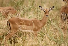 Young female impala, Aepyceros melampus. Young impala, Aepyceros melampus, photographed vertically while the tall grass, in the background another one blurred stock photography