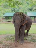 Young female Indian elephant eating grass while breaking between the show in elephant camp in Thailand Stock Photos