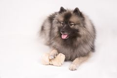 Young female Keeshond Stock Photography