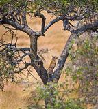 Young female leopard climbs tree Royalty Free Stock Image