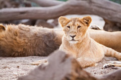 Young female lion stock photography