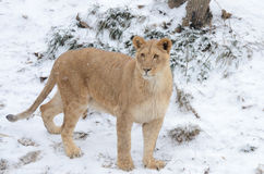 Young lion in the snow2 Royalty Free Stock Photos