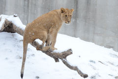 Young lion in the snow4 Stock Image