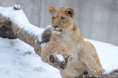 Young lion in the snow5 Stock Photos