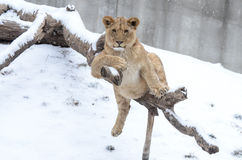 Young lion in the snow6 Royalty Free Stock Photo