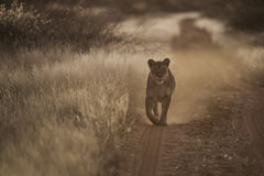 Young Female Lion Walking on a Dusty Path. Young Female Lion Walking on Dusty Path Stock Photos