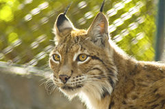 Young female lynx Royalty Free Stock Photo
