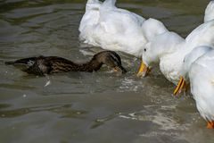 Flock of ducks royalty free stock photography