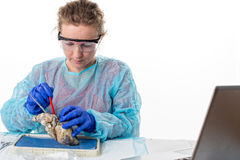 Young female medical student in class. Sitting at a bench in the laboratory dissecting a sheep heart as she analyses the structure and physiology Royalty Free Stock Image