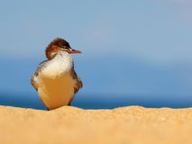 Young Female Merganser. A young Merganser duck standing a sandy beach in Tahoe royalty free stock photography