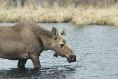 Young female moose Stock Images