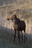 Young female moose on Hecla Island in Manitoba Stock Images