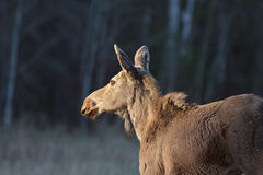 Young female moose on Hecla Island in Manitoba Royalty Free Stock Photo