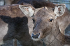 Young female mule deer Royalty Free Stock Photography