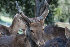 Young female mule deer Royalty Free Stock Photos