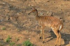 Young female nyala (Tragelaphus angasii) Stock Photos