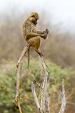 Young Female Olive, or Savanna, Baboon Playing With Foot Royalty Free Stock Images