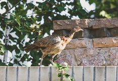 Young female pheasant walks along stone fence. Large female pheasant walks through a stone fence on a summer day Royalty Free Stock Images