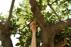 Young female is picking figs from tree at beach Stock Photography