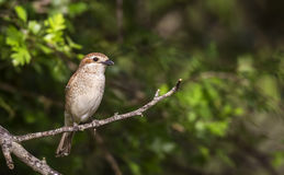 Young Female Red-backed Shrike Royalty Free Stock Photos