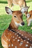 Young female sika deer Stock Photo