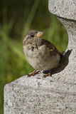 Young female sparrow Stock Image