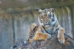 Young female Sumatran tiger, Panthera tigris sumatrae Stock Photography