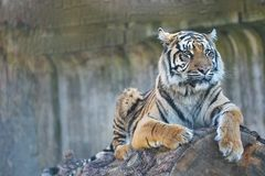 Young female Sumatran tiger, Panthera tigris sumatrae Royalty Free Stock Photo