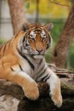 Young female tiger Royalty Free Stock Photography